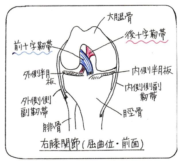 crucilate_ligaments_yk_001