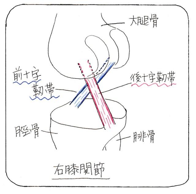 crucilate_ligaments_yk_002