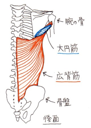 latissimus_dorsi_and_teres_major_001