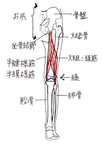 muscles_hamstrings_yk_001