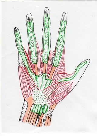 muscles_of_palm