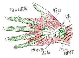palm_muscle_tendon_002