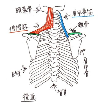 trapezius_and_levator_scapulae_002